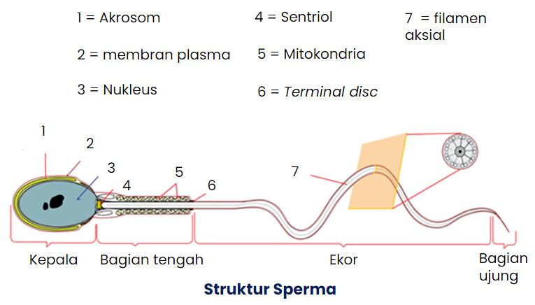 struktur sperma