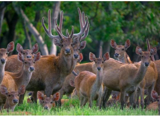 rusa tergolong vivipar karena cara berkembang biaknya