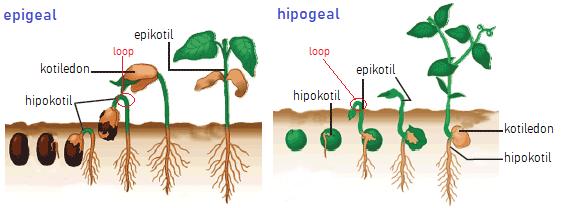 epigeal e hipogeal