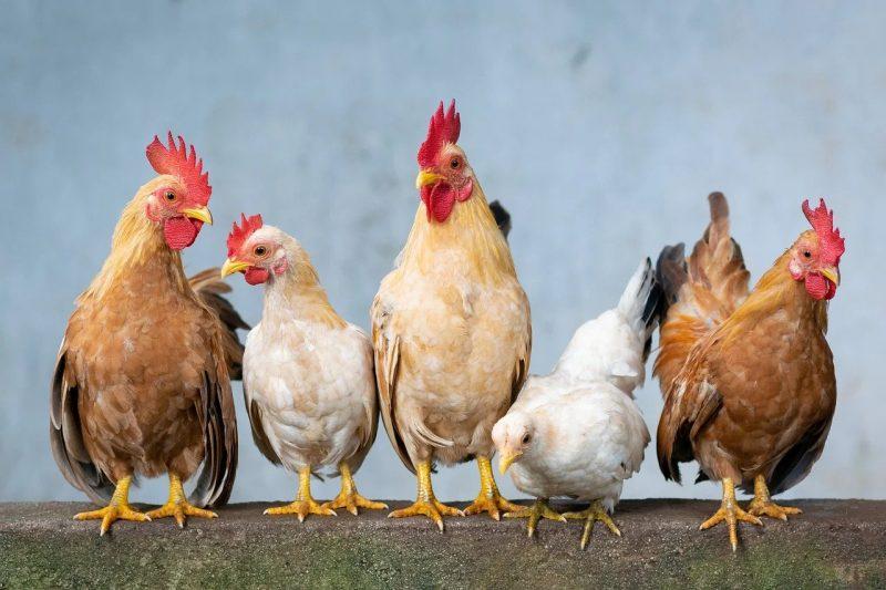 organ gerak ayam