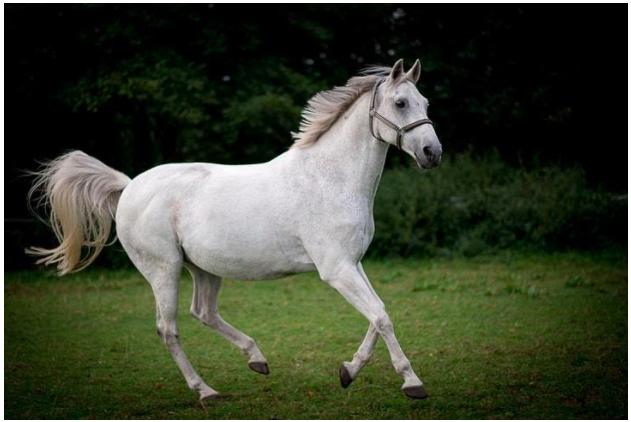 seekor kuda putih menggunakan fungsi organ gerak berlari di lapangan